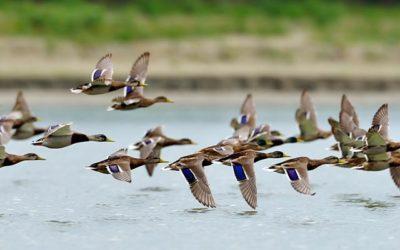 Oer-Hollands vliegend wild